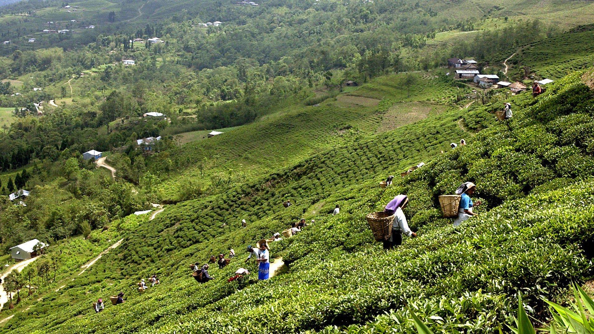 Kanyam Tea Garden