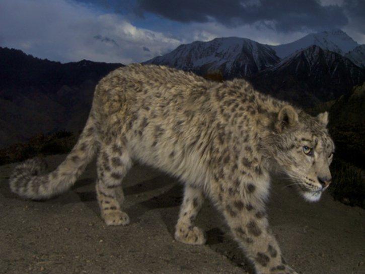 Sagarmatha National Park, Snow Leopard