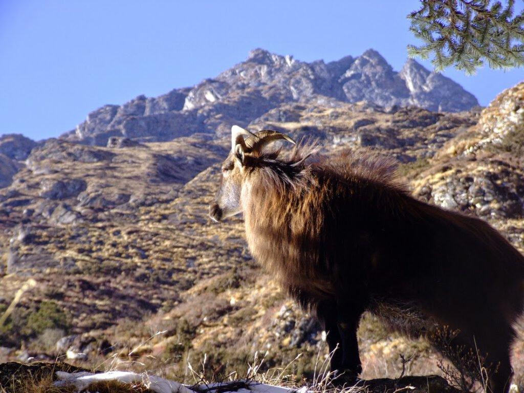Himalayan Thar @ Shey Phoksundo National Park