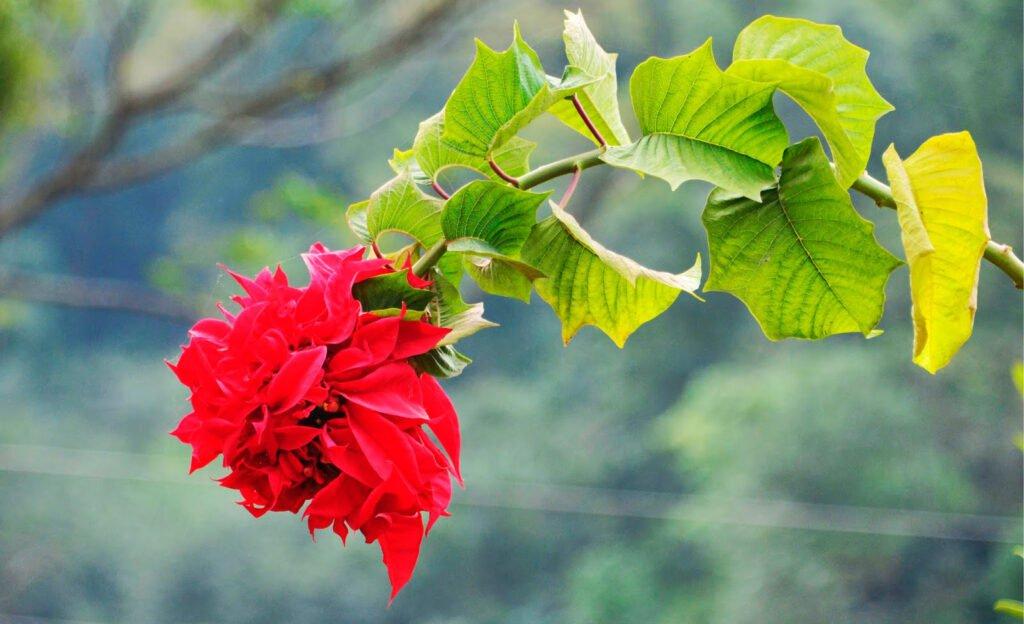 Poinsettia (Lalu Pate)