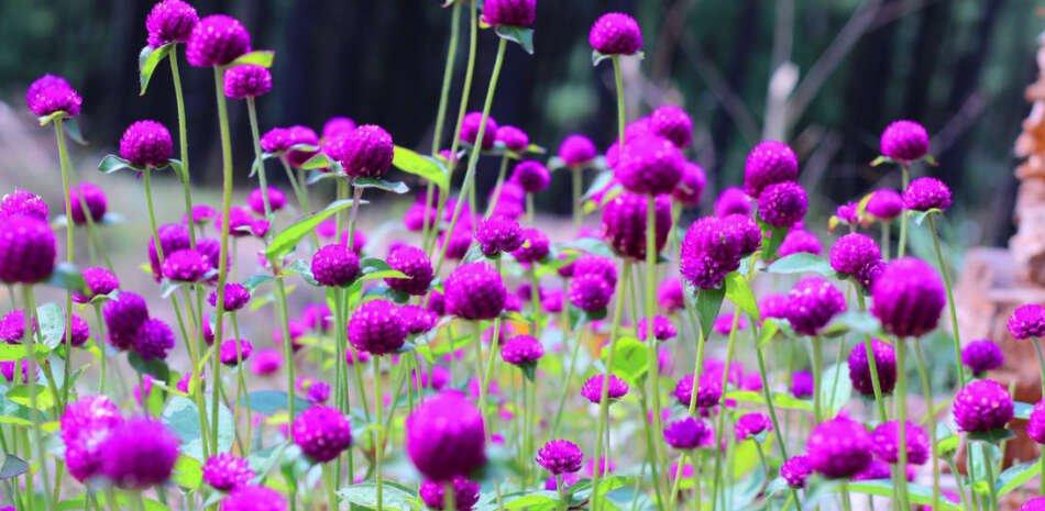 makhamali, Purple globe  Amaranth
