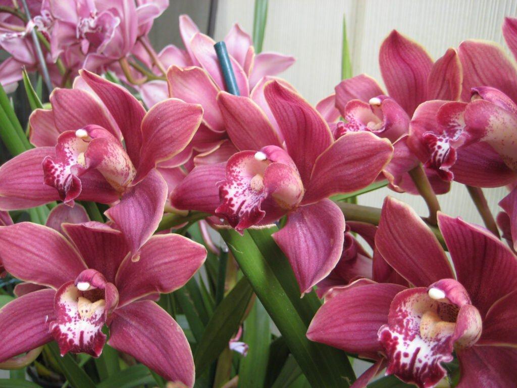 orchids - sunakhari