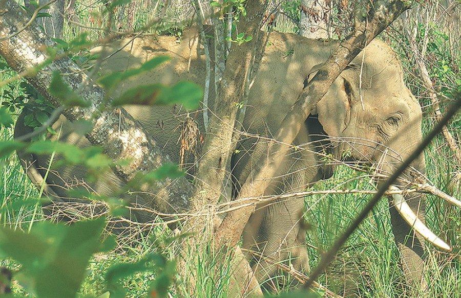 Dhurbe Elephant