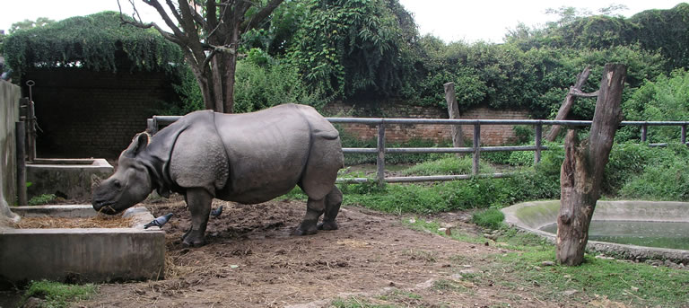 Rhino at Central Zoo Nepal