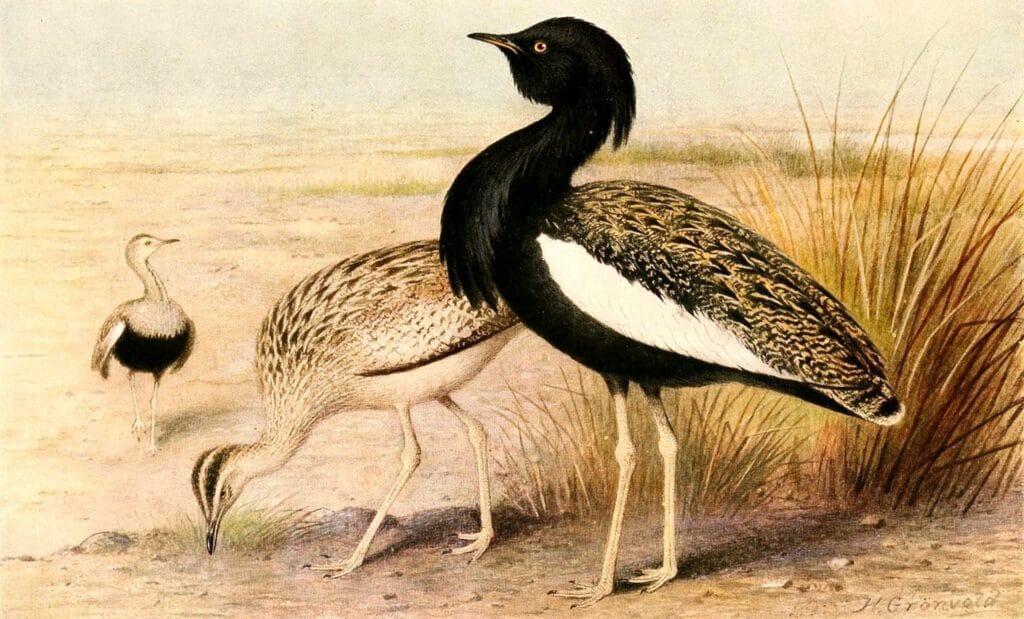 Bengal floricans
