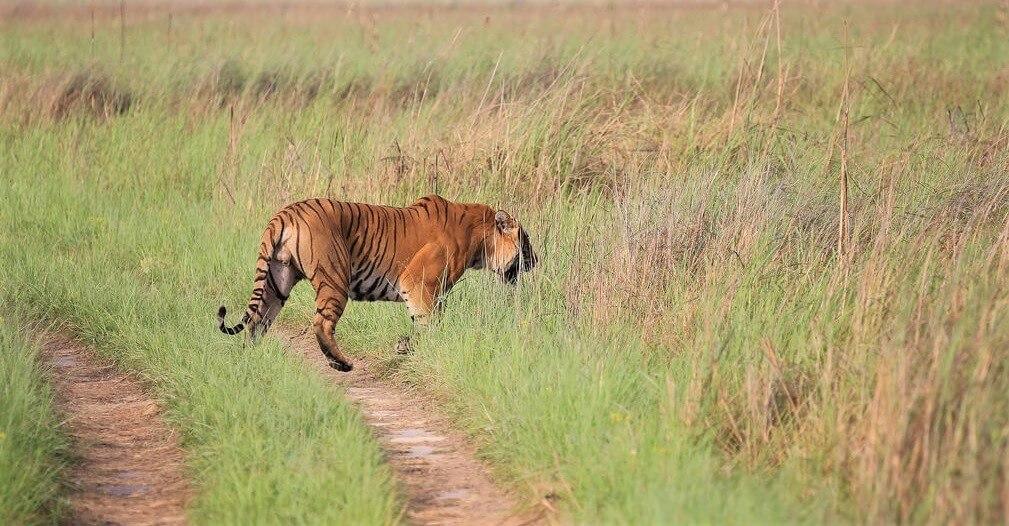 Tiger in Suklaphanta