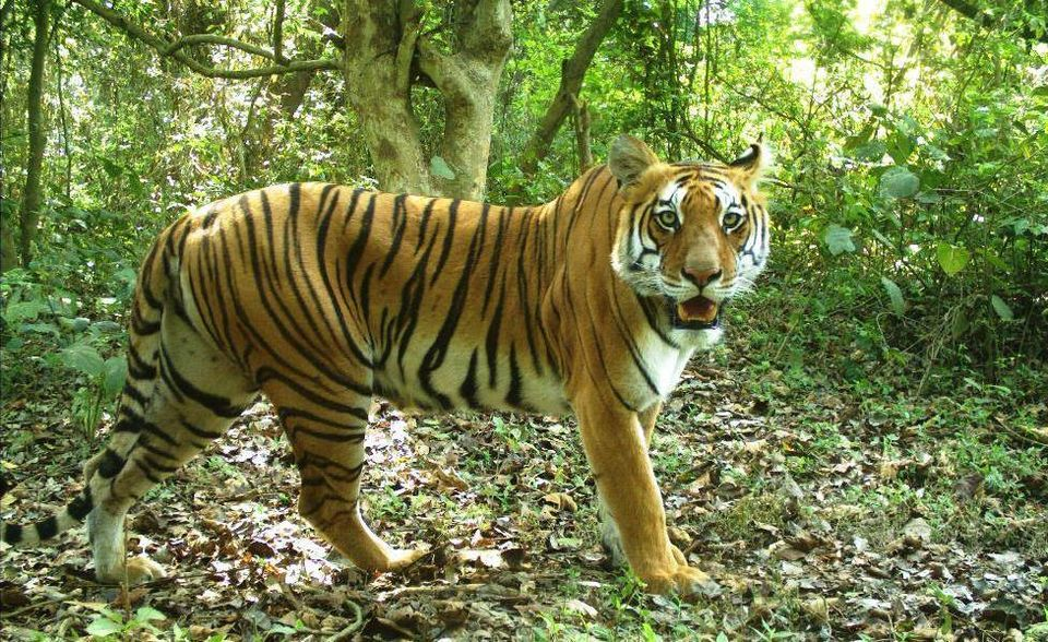 Bengal Tiger- Banke National Park