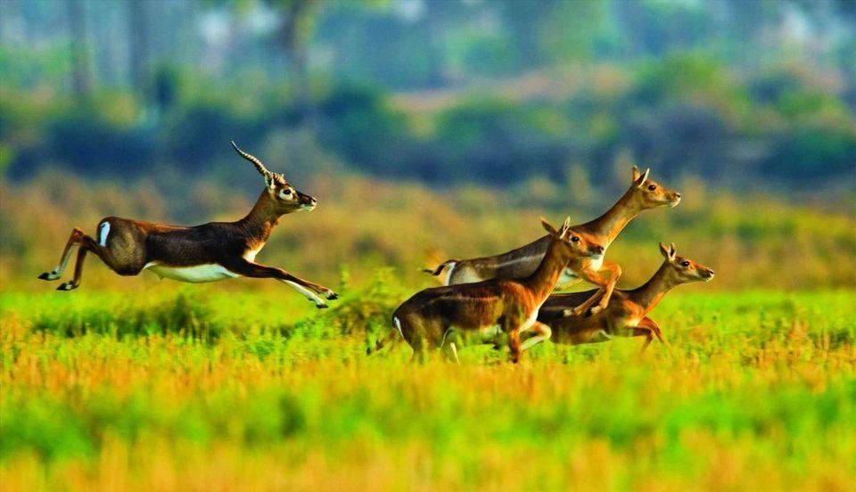 Blackbuck - Krishnasar Conservation Area