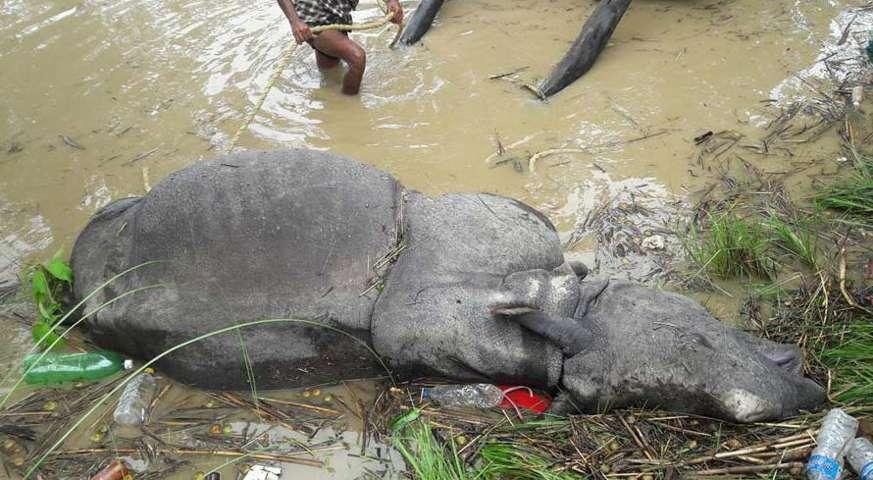 rhino was found dead