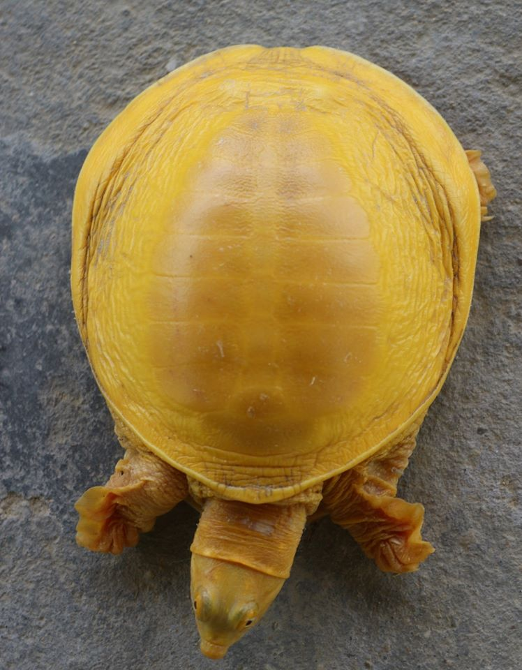 golden-turtle-spotted-indian-flapshell-turtle-in-nepal