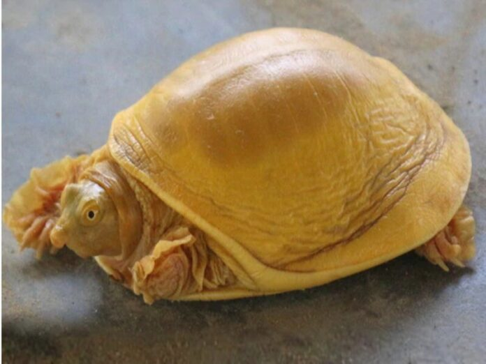 rare golden turtle in nepal