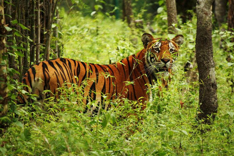 Tiger at National Park