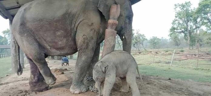 Narayan Kali gave birth to Calf