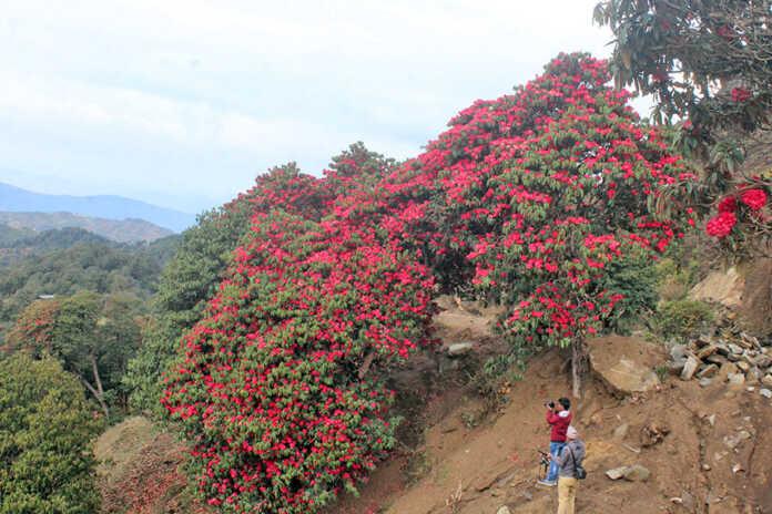 Rhododendron bloom in Tinjure Milke Jaljale
