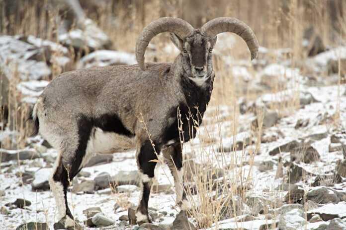 Census of blue sheep underway