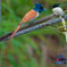 Asian Paradise Flycatcher Now Spotted In All Seasons
